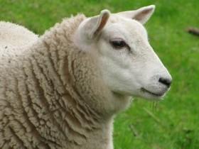 羊好き 焼酎